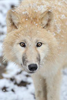 The Wolf by Josef Gelernter on 500px*