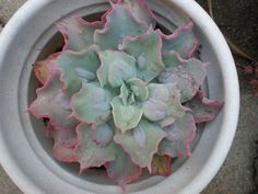 https://flic.kr/p/6yx9AL | Echeveria Gibbiflora hybrid 'Edna Spencer'
