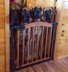 """Explore our website for additional info on """"great dane dogs"""". It is a great place to learn more. Dane Puppies, Pet Dogs, Dog Cat, Great Dane Rescue, Great Dane Puppy, Great Dane Temperament, Animals And Pets, Cute Animals, Huge Dogs"""