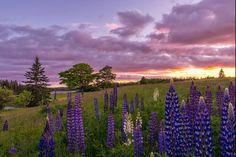 Lupine field at sunset, Deer Isle, Maine.