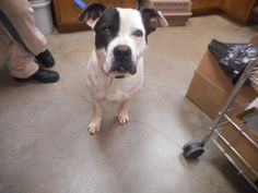 Carroll Co GA Animal Shelter CC-1-7-2-16 Mastiff mix white and black male neutered 5 years old. This is Petey, he was owner surrendered to us because of the health of his owner. He has been a wonderful dog while he has been in our care.