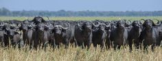The congratulations this week goes to Tris Enticknap for her image of a menacing herd of Cape buffalo on the Chada Plain, Katavi National Park in Tanzania Extra - Wildlife Photography - Your Photos Animal Habitats, Bison, Wildlife Photography, Tanzania, Pet Care, Conservation, Your Photos, Your Pet, Buffalo
