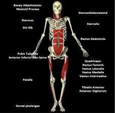 Myofascial Meridains (Anatomy Trains): Superficial Front Line - - jpeg Muscle Fascia, Peroneus Longus, Neuromuscular Therapy, Superficial, Yoga Anatomy, Sports Massage, Body Systems, Anatomy And Physiology, Qigong