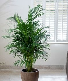 Areca Palm Tree for adding moisture in the air during dry winter months. Great i - Floor Plants - Ideas of Floor Plants - Areca Palm Tree for adding moisture in the air during dry winter months. Non toxic for cats. Potted Plants, Indoor Plants, Palm Plants, Indoor Trees, Areca Palm Plant, Palm Tree Plant, Plantas Indoor, Decoration Plante, Inside Plants