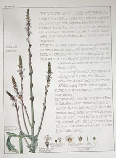 1910 Botanical Print by H. Isabel Adams: Vervain by PaperPopinjay