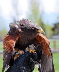 Teton Raptor Center's trained Harris Hawk.
