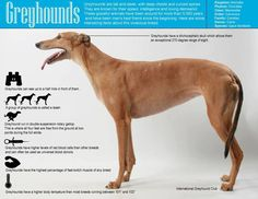 greyhound facts
