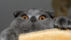 Scottish fold cat Wallpaper in 2560x1440 - See more stunning scottish fold cat picture at catincare.com!