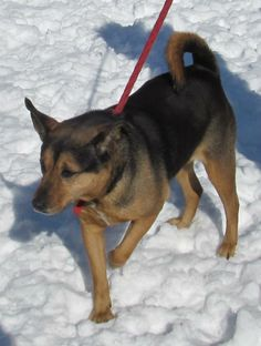 ISIS...FOUND IN STARK COUNTY Canton, OHIO...Picked up as a stray on 2/7.  Available on 2/11.   $ 86.00 fee includes license, 4 way shot, Bordetella vaccine, flea treatment if necessary.  Some dogs are also wormed, Heartworm tested.  $50.00 goes to the cost of spay/neuter and rabies. We take...