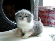 british shorthair cat first steps