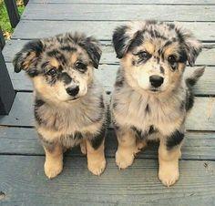 Best Australia Chubby Adorable Dog - d838285282c0e581299d7aa317e1f685--cutest-animals-baby-animals  Collection_223295  .jpg