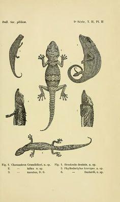 M.F. Mocquard Nouvelle contribution a la faune herpétologique de Madagascar (1899-1900)