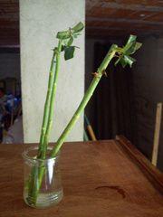 Comment bouturer les rosiers - Bouturage des rosiers