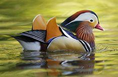 Best Beautiful Birds images Gallery in 2019 birds bird guide House. Aix Galericulata, Types Of Ducks, Duck Species, Duck Pictures, Bird Guides, Mandarin Duck, Mallard, Bird Watching, Beautiful Birds