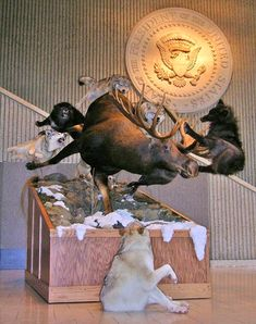 Impressive taxidermy featuring a bull moose fighting off wolves
