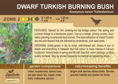 Dwarf Turkish Burning Bush (Live Plant)