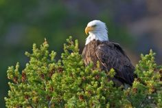 There are a total of about 70,000 bald eagles in the whole of North America.  #eagle #BaldEagle #Bird #American #USA #America #UnitedStates #Travel #Tour #Wyoming #National #Bird #Eagles