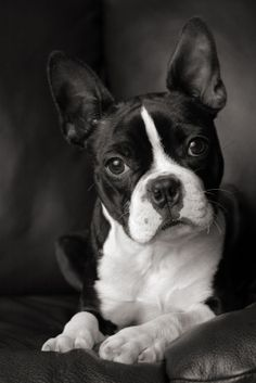 Boston Terrier-WHAT A BEAUTY.  THIS IS NOT MY BOSTON BUT I HAD ONE THAT DIED LAST YEAR ON MOTHERS DAY.  DIED SUDDENLY-HAD PANCREAS PROBLEMS IN NOV 11, GOT BETTER BUT DIED 2012.  I MISS HER SO MUCH.