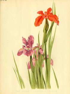 Iris fulva - circa 1898