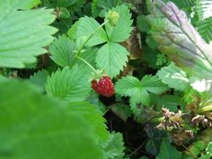 Edible wild fruits: berries and nuts