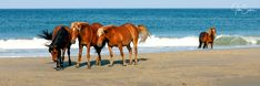 Wild horses chilling on the beach of Corolla comunity, Currituck County, NC. #johnsamsphotography #photography #travelphotography #wildhorses #horse #stallion #wildlife #canvasprint #photographyprint #homedecor #homedesign #countrystyle #wallart #northcarolina #obx #outerbanks Photography Career, Wildlife Photography, Travel Photography, Us Marine Corps, Sams, Wild Horses, Chilling, Country Style, Bathing
