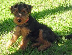 Gus the Welsh Terrier