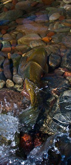 Trout on Washington Fly Fishing website