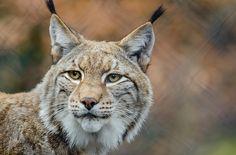 Kostenloses Bild auf Pixabay - Luchs, Rotluchs, Tierwelt, Raubtier