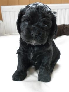 Black american cocker spaniel puppy <3 #cocker