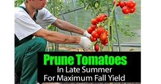 Gardening Tomatoes With Containers How To Prune Tomatoes For Maximum Yield - Learn how to prune tomato plants for maximum yield, get more tomatoes, larger fruit, fruit that actually ripens quicker. We share [PRUNING DETAILS] Veg Garden, Tomato Garden, Green Garden, Edible Garden, Vegetable Gardening, Organic Gardening, Growing Tomatoes In Containers, Growing Vegetables, Grow Tomatoes