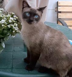 Sting, gato siamés de ojazos azules excelente compañero, nacido en Agosto´13, en adopción. Valencia.