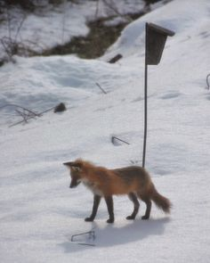 My Fox on Monday Morning | Content in a Cottage