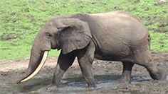 Crack down on elephant murders | Wildlife Conservation Society | Please sign and share petition. Thanks.