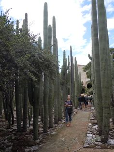 Here I am in a pathway lined with organ pipe cacti in el Jardin Etnobotanico.  Famous Mexican artists Francisco Toledo and Luis Zarate were instrumental in the design of the garden. http://www.gardendesign.com/travel/oaxacas-ethnobotanical-garden