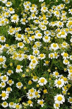Perennials ground cover flowers roman chamomile - How low can you grow? Ground Cover Plants Shade, Best Ground Cover Plants, Ground Cover Flowers, Low Growing Ground Cover, Shade Plants, Flowering Ground Cover Perennials, Flowers Perennials, Grass Alternative, Evergreen Groundcover