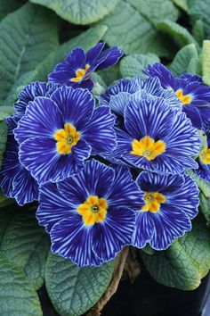 Primula 'Blue Zebra' sold down here at Plant Delights nursery, but it says it's hardy to Boothbay's zone