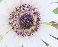 white lila flower