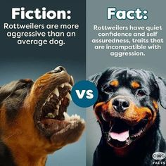 Rottweiler Love, Rottweiler Puppies, German Rottweiler, Funny Dogs, Cute Dogs, Funny Animals, Baby Animals, Paris Football, Purebred Dogs