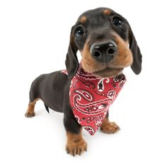 Either I need to grow or they need to change the bandanna into a smaller one. Otherwise I will trip on it. But yes, I DO look great!