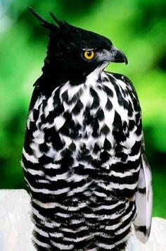 Beautiful Blythe Hawk-Eagle