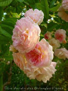 LE JARDIN DES GRANDES VIGNES: Rosier Pink Ghislaine de Féligonde