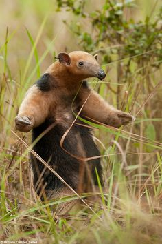 A Southern Anteater from the Pantanal in defense posture.  Caption and wildlife photography by Octaviio Campos Salles.
