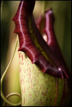 Carnivore  Death by seduction..  This is a carnivorous pitcher plant of the genus Nepenthes, which are found around south east asia and the indian ocean. Insects and others are lured to their death tempted by a good meal, only to become one.    The pointy red bits are called 'teeth'. :)