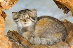 Pallas Cat by Scott Flaherty - Photo 25218745 - 500px