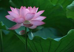 lotus flower - Pesquisa Google