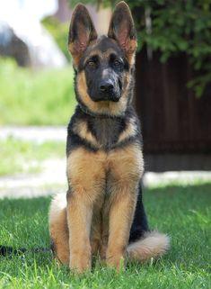 Cool German Shepherd Names #germanshepherd