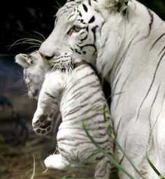 Bety, a female white tiger, holds one of her three 45 day-old cubs at the Buenos Aires Zoo