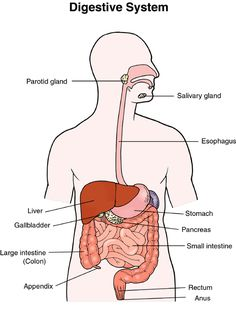 The intestines human anatomy picture function location parts young living essential oils celiac colitis antibiotic oil blend inflammatory bowel ibd irritable bowel syndrome ccuart Images