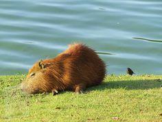 Capybara, Brown Bear, Habitats, Animals, Diet, Paths, Animales, Animaux, Animal