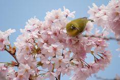 https://flic.kr/p/9tqckN | Sakura and Mejiro | 桜の撮影中によく見かけるメジロ。今日も登場。  I…